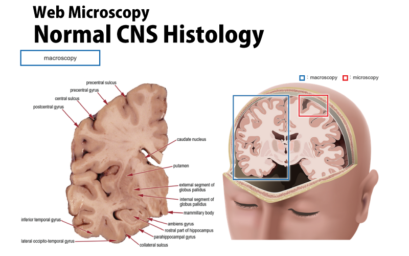 Normal CNS Histology